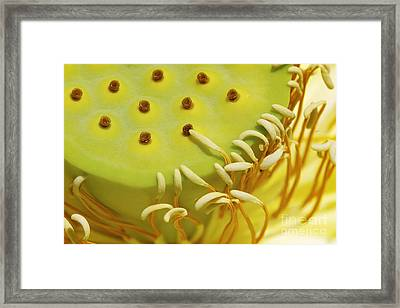 White Lotus Pollination Framed Print by Susan Isakson