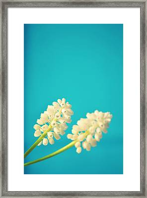 White Muscari Flowers Framed Print by Photo by Ira Heuvelman-Dobrolyubova