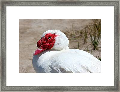 White Muscovy Duck With Red Bill Framed Print by Tracie Kaska