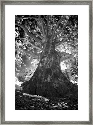 White Oak Framed Print