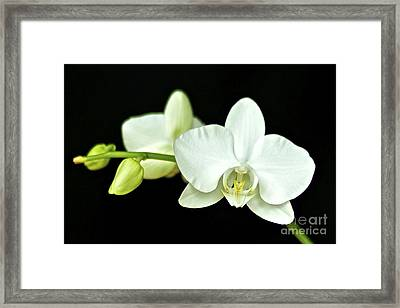 White Orchid Framed Print by Mihaela Limberea