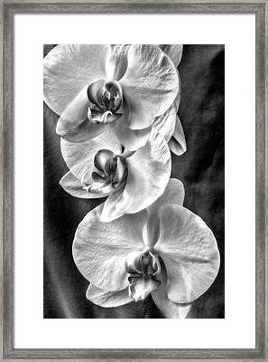 White Orchids Framed Print by Naman Imagery