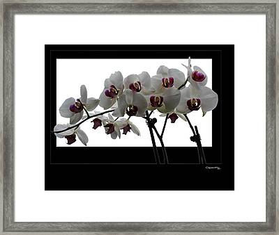 White Orchids Framed Print by Xoanxo Cespon