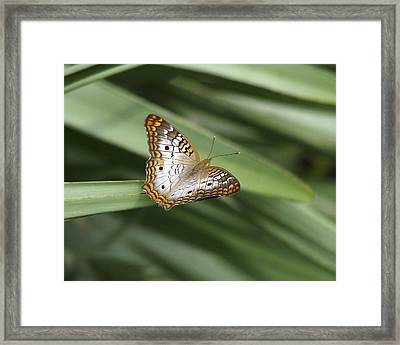 White Peacock Butterfly. Framed Print by Chris  Kusik
