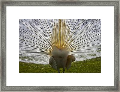 White Peacock Framed Print by Joana Kruse