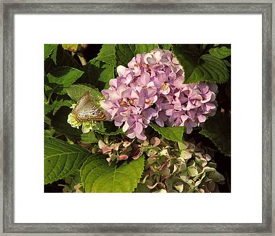White Peacock On Hydrangea Framed Print by Peg Urban