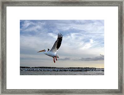 Framed Print featuring the photograph White Pelican Flying Over Island by Dan Friend