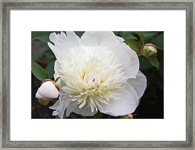 Framed Print featuring the photograph White Peony by Ann Murphy