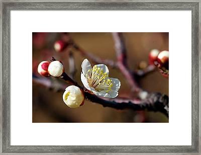 White Plum Blossoms Framed Print