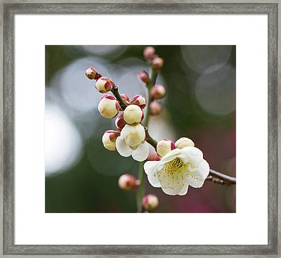 White Plum Blossoms Framed Print by KenjiYamamoto