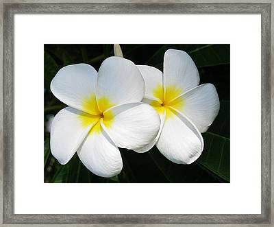 White Plumerias Framed Print by Shane Kelly