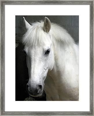 White Pony Framed Print by Sally Crossthwaite