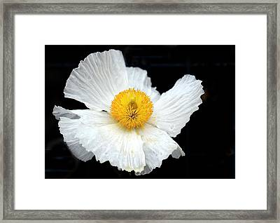 White Poppy On Black Framed Print