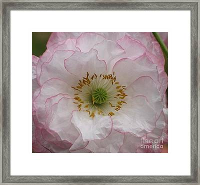 Framed Print featuring the photograph White Poppy With Pink Highlights by Michele Penner