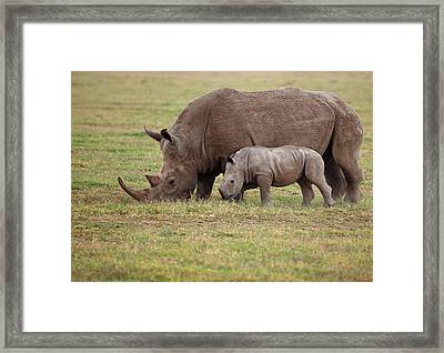 White Rhinocero Grazing Side By Side Framed Print