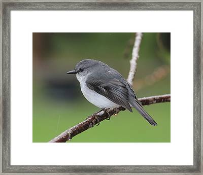 Framed Print featuring the photograph White Robin by Serene Maisey