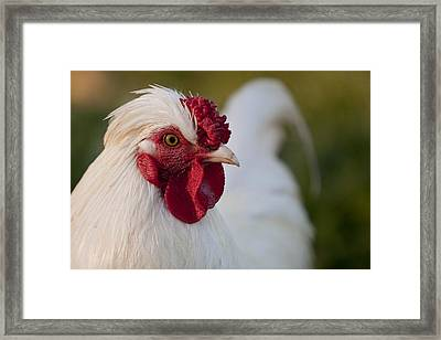 White Rooster Framed Print by Michelle Wrighton