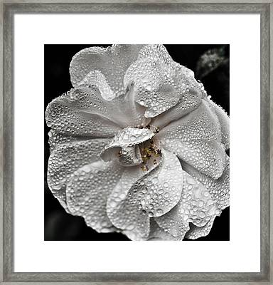 Framed Print featuring the photograph White Rose After Rain by Ronda Broatch