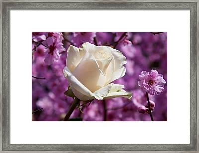 White Rose And Plum Blossoms Framed Print