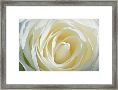 Framed Print featuring the photograph White Rose by Ann Murphy