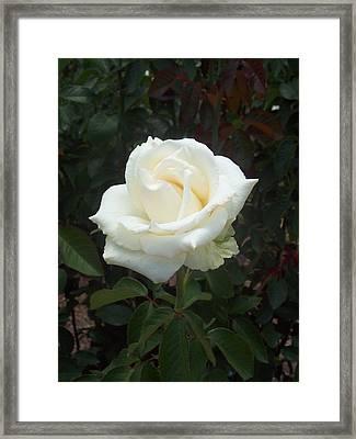 White Rose Framed Print by Lisa Williams