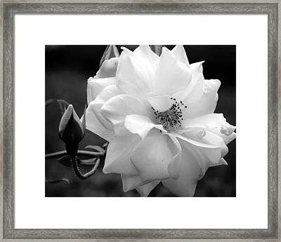 Framed Print featuring the photograph White Rose by Michelle Joseph-Long