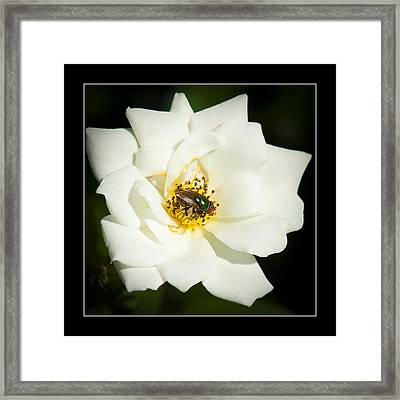 White Rose Framed Print by Miguel Capelo