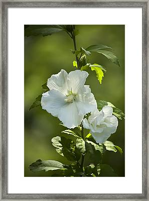 White Rose Of Sharon Framed Print