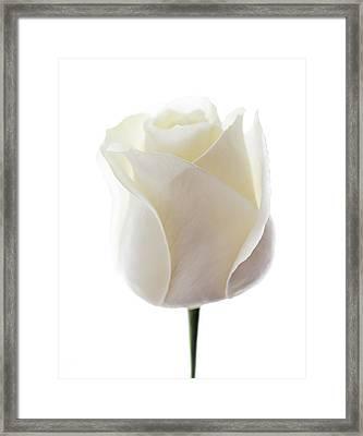 White Rose (rosa Sp.) Framed Print by Gavin Kingcome