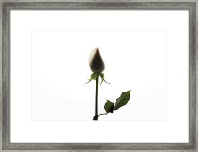 White Rose With Shadow Framed Print by Zafer GUDER
