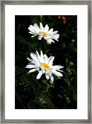 White Shasta Daisies Framed Print by Kay Novy