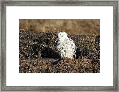 White Snowy Owl Framed Print