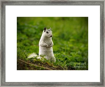 White Squirrel Framed Print by JK York