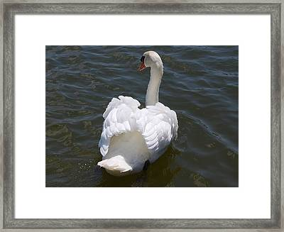White Swan Framed Print by Carrie Munoz