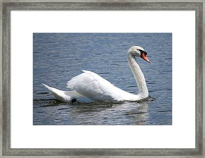 White Swan On A Lake Framed Print by Carrie Munoz