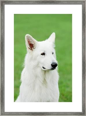 White Swiss Shepherd Dog Framed Print by Waldek Dabrowski