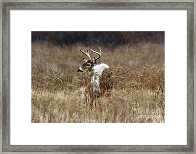 White Tail Framed Print by Butch Lombardi