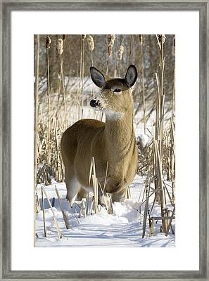 White-tailed Deer In A Snow-covered Framed Print