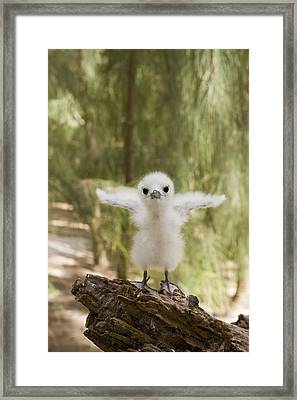 White Tern Chick Midway Atoll Hawaiian Framed Print by Sebastian Kennerknecht