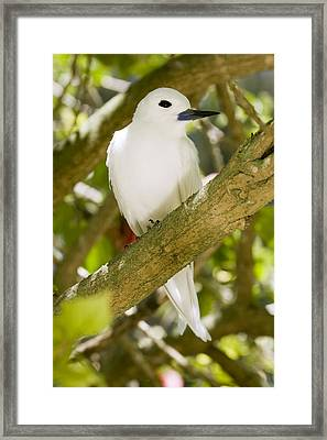 White Tern In Tree Midway Atoll Framed Print by Sebastian Kennerknecht
