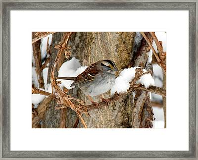 White Throat Framed Print