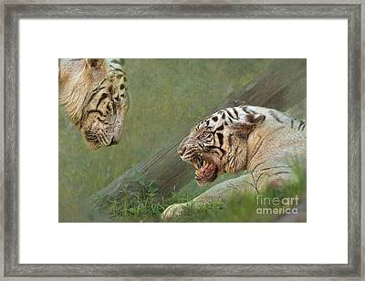 White Tiger Growling At Her Mate Framed Print by Louise Heusinkveld