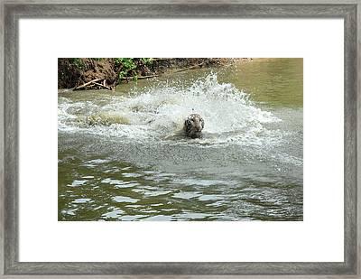 White Tiger In Water Pond Framed Print by Johnson Moya