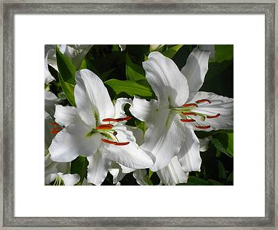 White Tiger Lillies Framed Print by Kathy Long