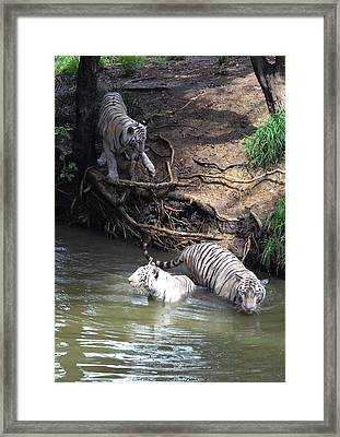 White Tigers In Water Pond Framed Print by Johnson Moya
