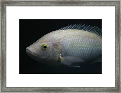 White Tilapia With Yellow Eyes Framed Print