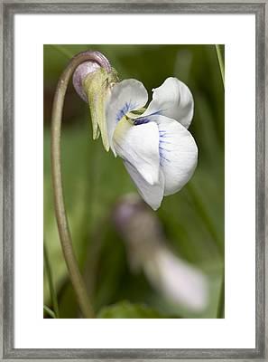 White Violet Macro Framed Print