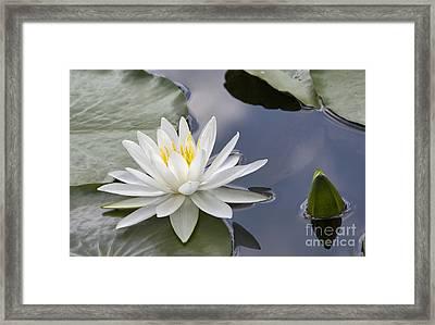 White Water Lily Framed Print by Vladimir Sidoropolev