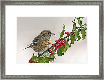 White-winged Crossbill On Holly Branch Framed Print by Jean A Chang
