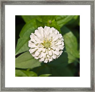 Framed Print featuring the photograph White Zinnia And Green Leaves by Susan Leggett